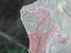 Pink crustose lichen
