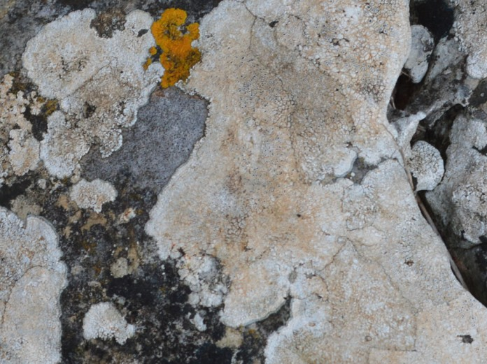 White crustose lichen