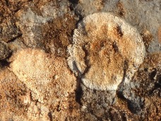 Brown crustose lichen