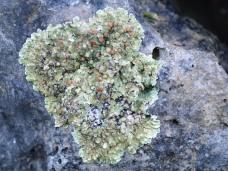 Lecanora lichen