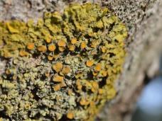 Zanthoria lichen