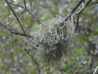 Evernia lichen