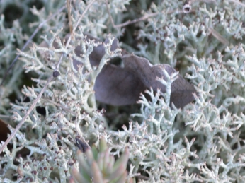 Roccella lichen (?)