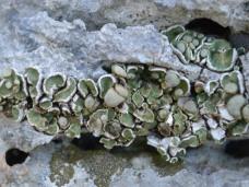Squamarina lichen