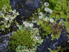 Cladonia lichen with moss