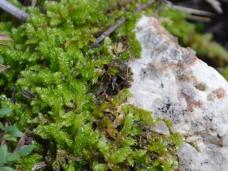 Brachythecium
