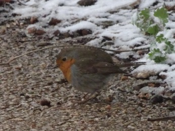 Fluffed-up robin