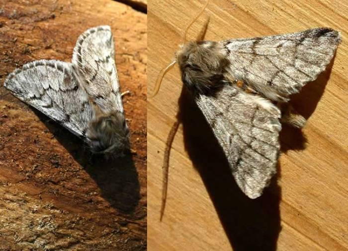 Traumatocampa pityocampa - the Pine Processionary moth