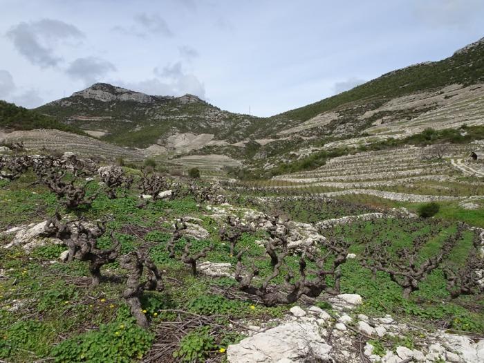 Miloš vineyards