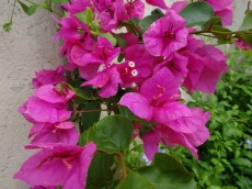 A splash of bougainvillea