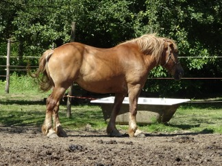 Medjimurje horse
