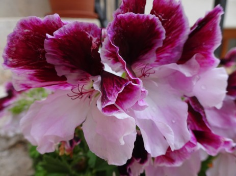 Two-tone pelargonium
