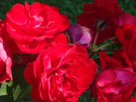 Sv Martin roses