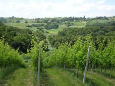Amongst the Jakopic vines