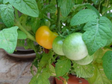 First tomato turning red!