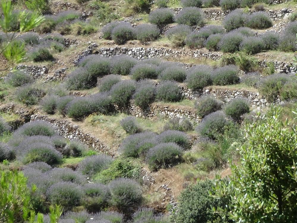 Lavender terraces