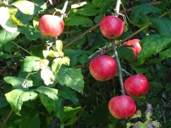 Rosy apples