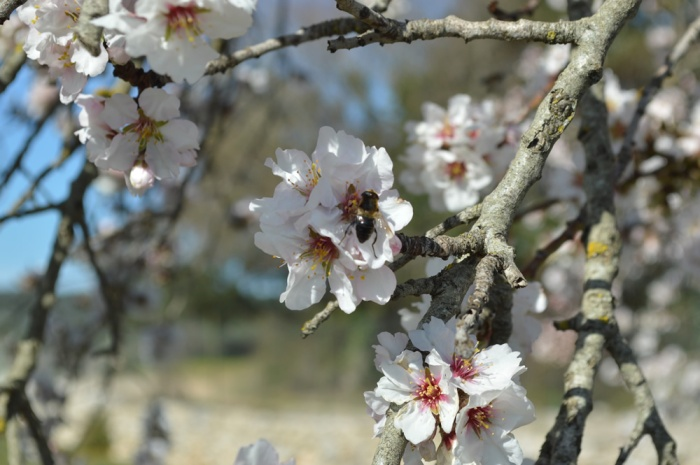 Bees love almond flowers!