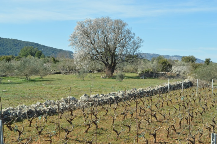Vineyards and almond tree