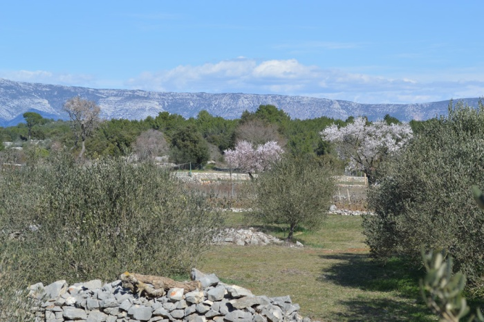 Almonds among the olives