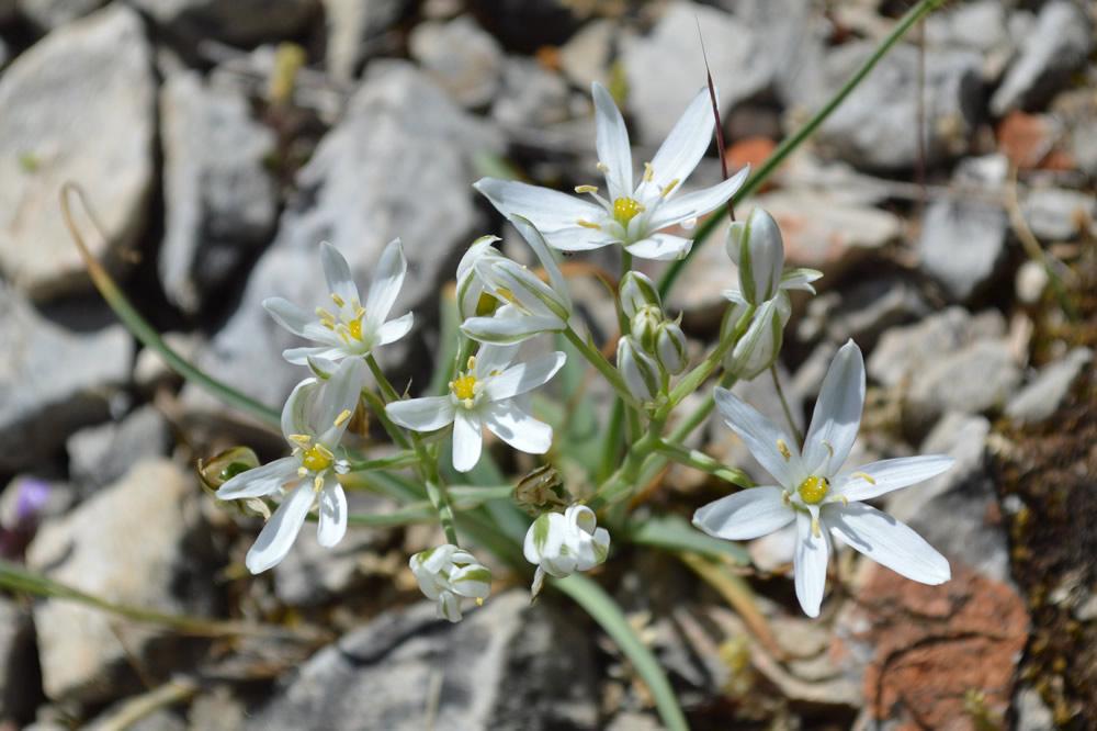 Grass lily