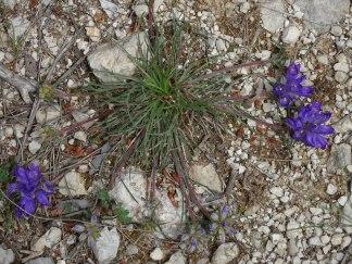 Edraianthus tenuifolius - Grassy bell