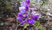 Orchis morio / picta