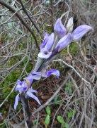 Limodorum abortivum - Violet birds nest orchid