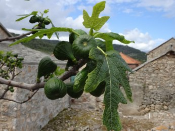 Early figs