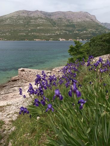 Wild irises in flower