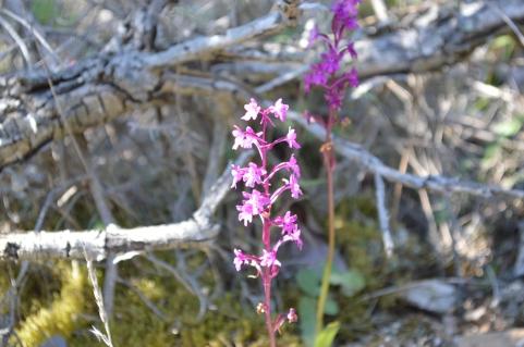 Orchis quadripunctata