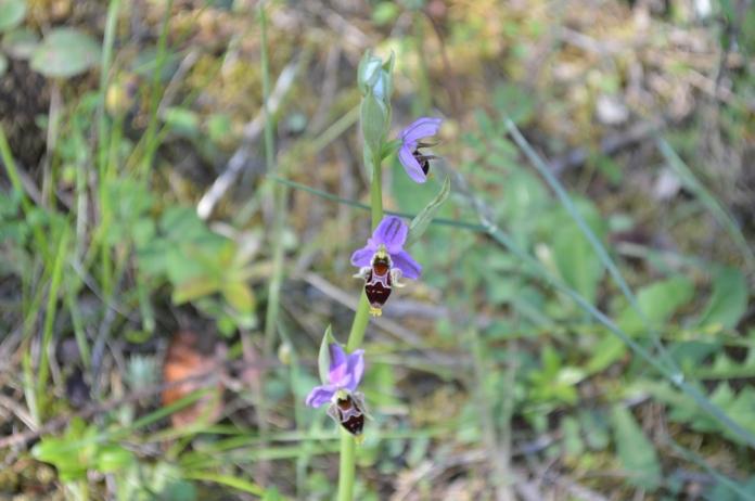 Orchis Rhodostephane