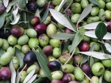 Olives with leaves