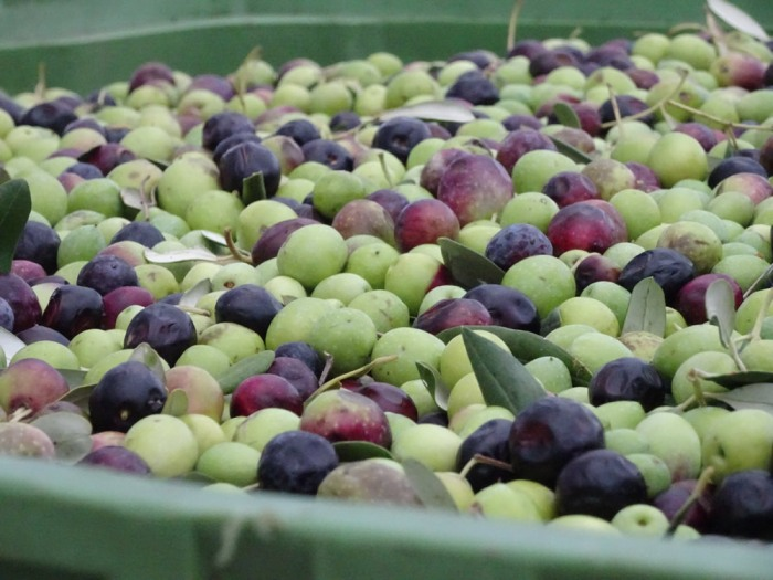Olives waiting for processing