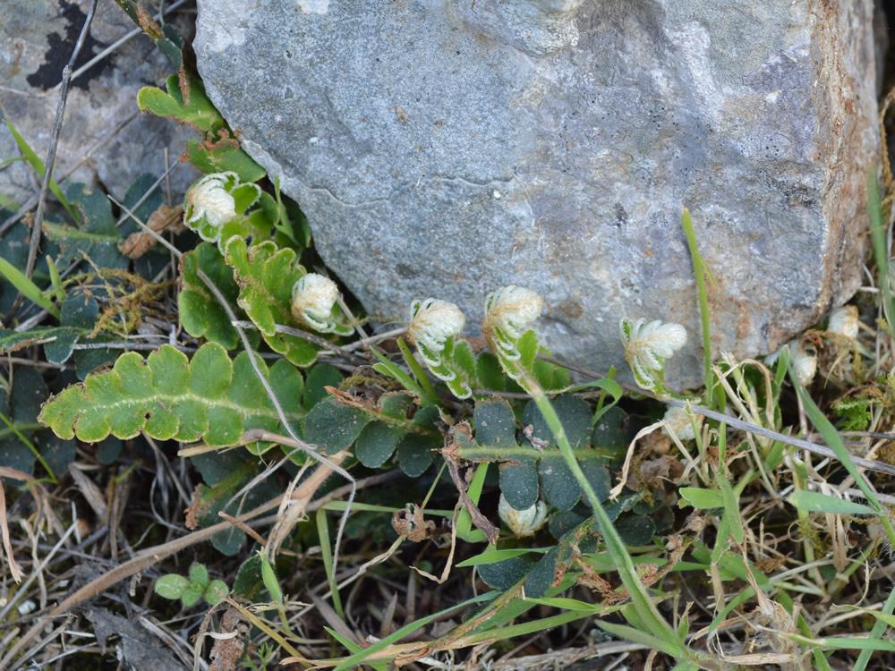 Rustyback fern unfurling