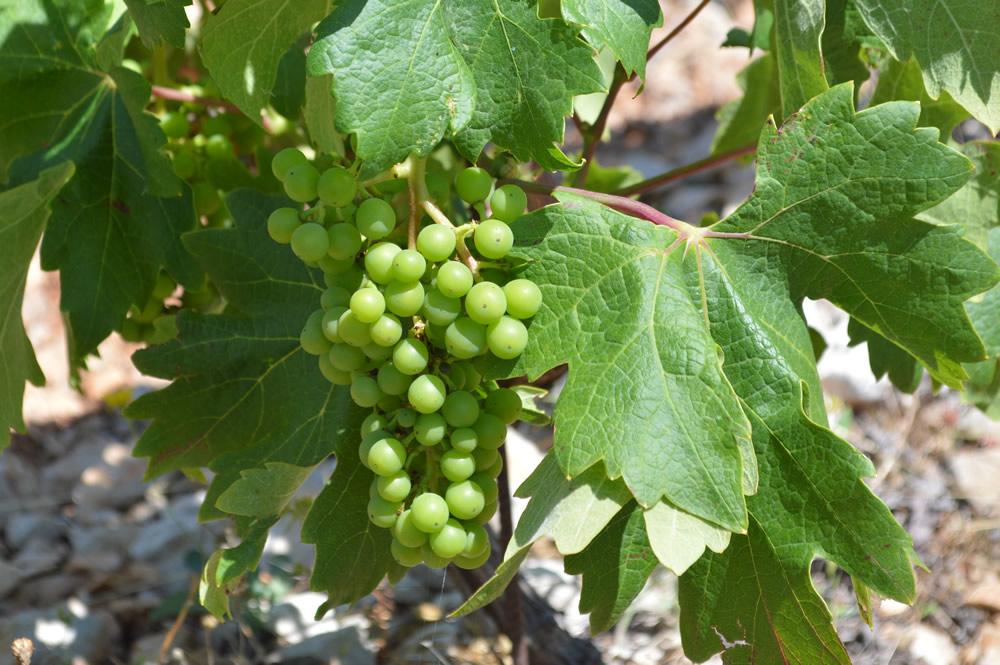 Plavac mali grapes