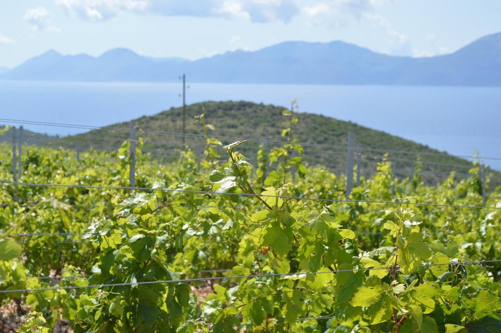 Plavac mali vines