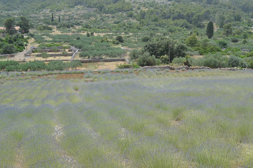 Lavender in June